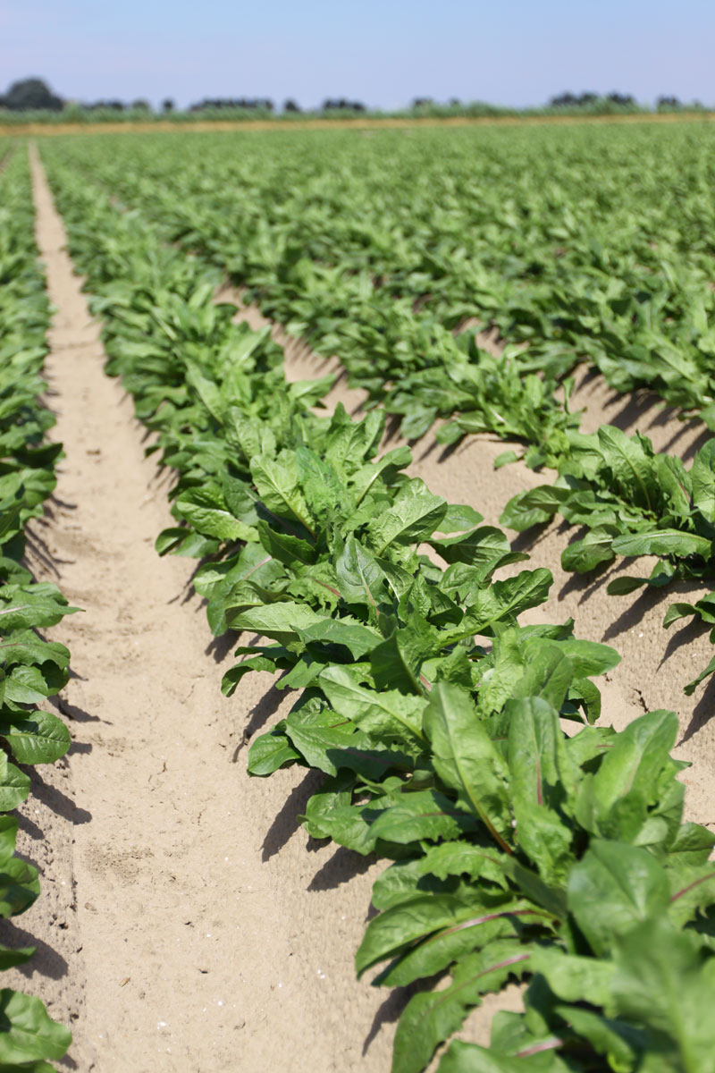 image chicory forcing