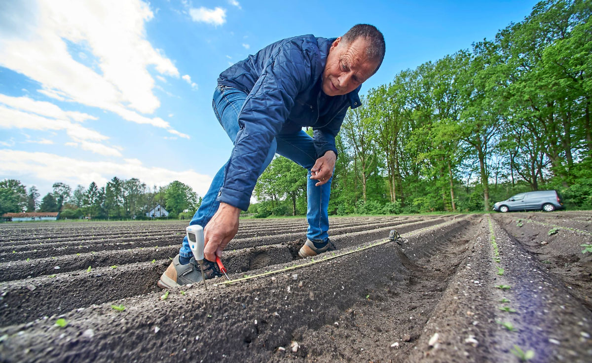 image chicory cultivation