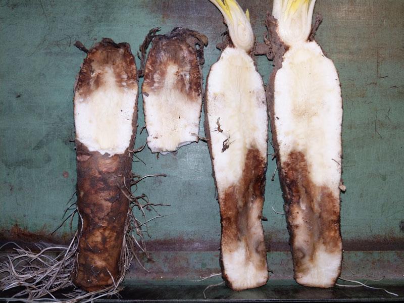 Chicorée-Samen behandelt